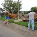 Корова в подарок семье Таксопуло В.В.