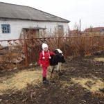 Телочка в подарок семье Деминых, 11.11.2014 г