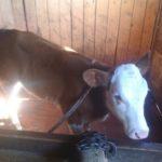 Корову в подарок многодетной семье